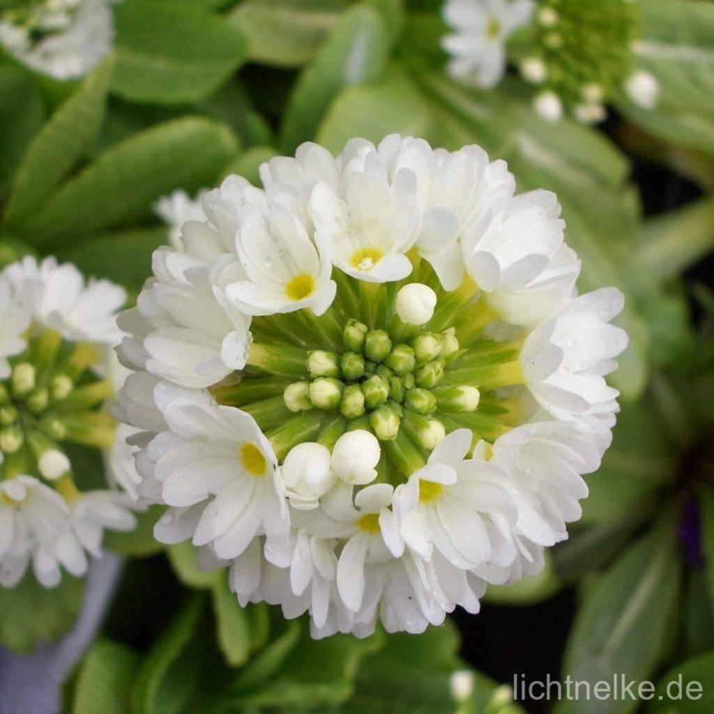 Kugelprimel ( Primula denticulata )