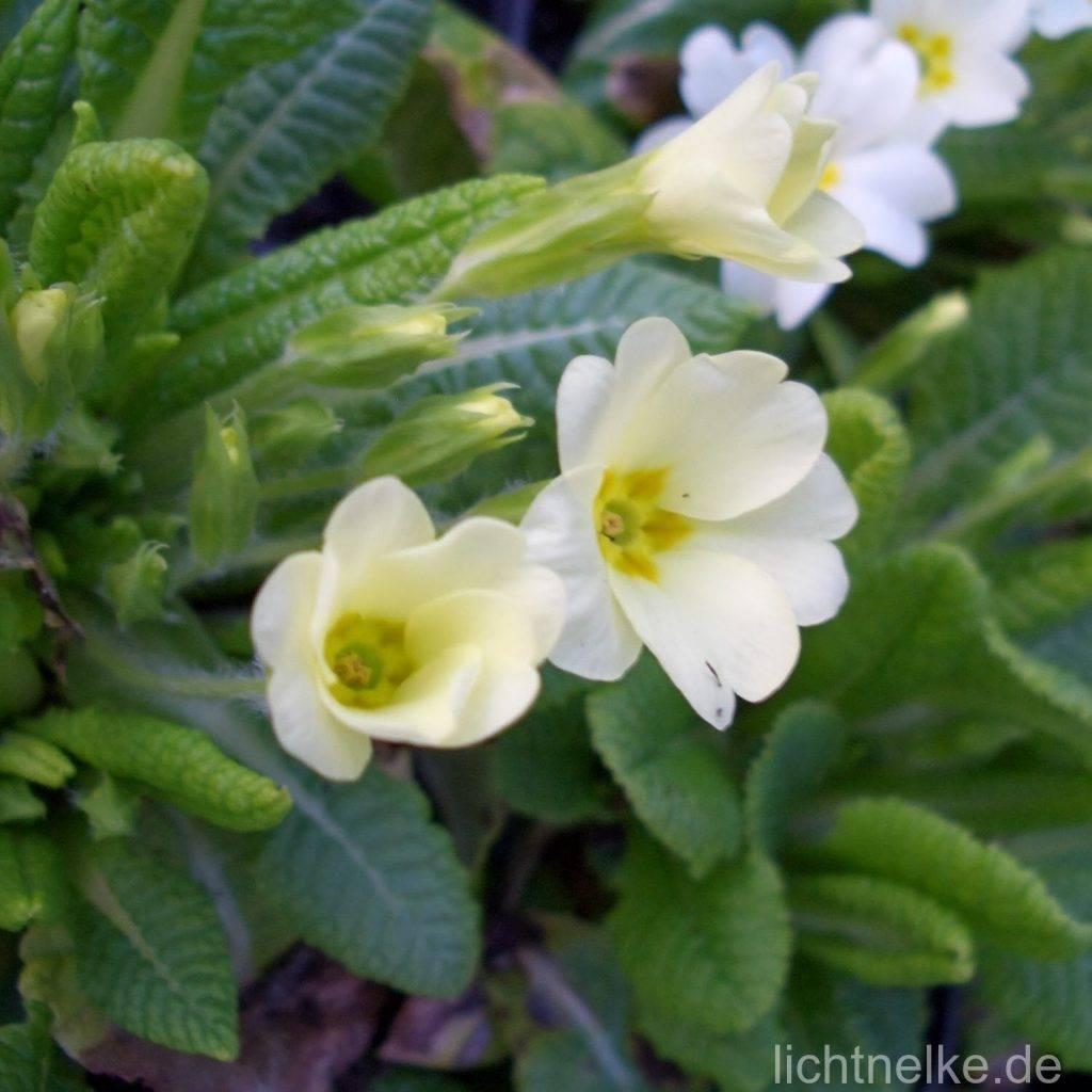 Kissenprimel (Primula vulgaris)
