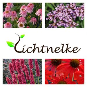 Sonnenhut (Echinacea purpurea) SECRET ROMANCE + Kleines Patagonisches Eisenkraut (Verbena bonariensis) Lollipop + Kerzen-Knöterich (Persicaria / Polygonum amplexicaule) Fat Domino + Sonnenhut (Echinacea purpurea) Tomato Soup