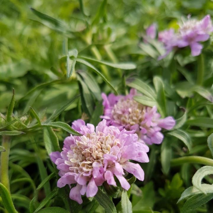 Mittagsblümchen Delosperma cooperi Jewel of Desert Candystone Neuheit Staude